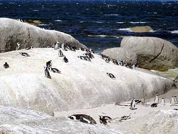 African Penguins Under The Sun