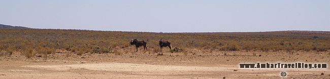Springboks In The Wild
